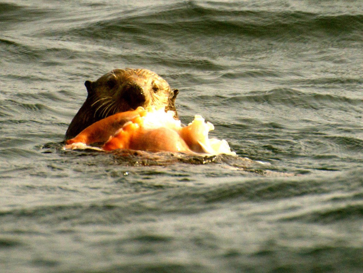 Sea otter eats octopus